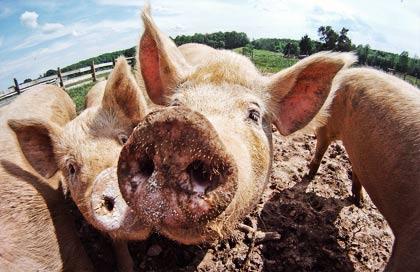 pork_small